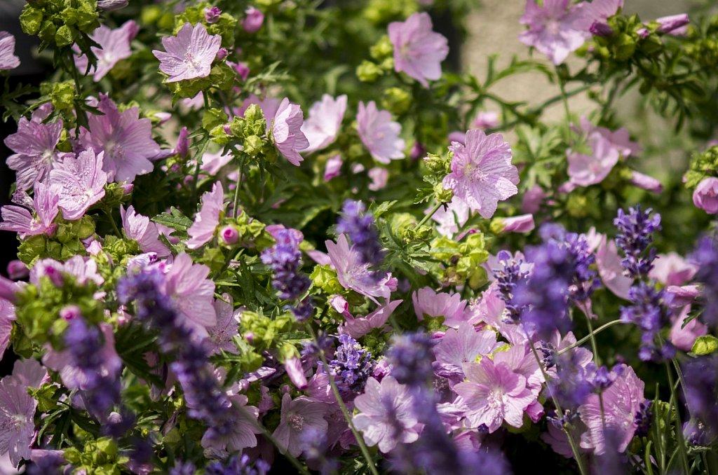 Lavendel und Lavatera olbia
