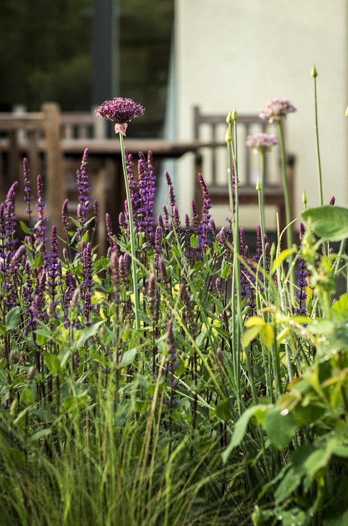 Salvia nemorosa Caradonna und Allium atropurpureum