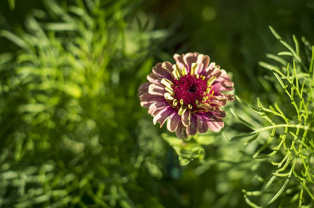 Zinnia elegance Quenny Lime Red